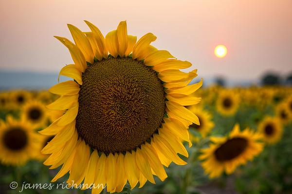 Summer Sunflowers!
