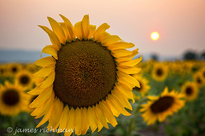 August 7 (Sunflowers) 048-Edit
