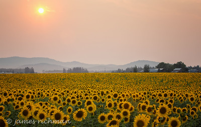 August 7 (Sunflowers) 005-Edit