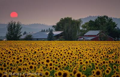 August 7 (Sunflowers 7D) 055-Edit