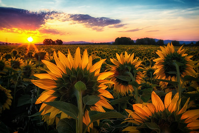 August 9 (sunflower sunrise) 179-Edit-2