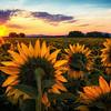 August 9 (sunflower sunrise) 179-Edit-2