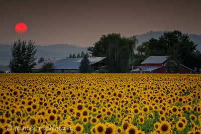 August 7 (Sunflowers 7D) 053-Edit
