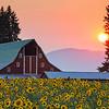 August 6 (Sunflowers) 114-Edit