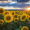 August 5 (Sunflowers) 159-Edit-2