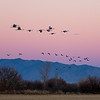 Sandhill Cranes Commuting Home for the Night