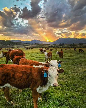 Cow Paradise