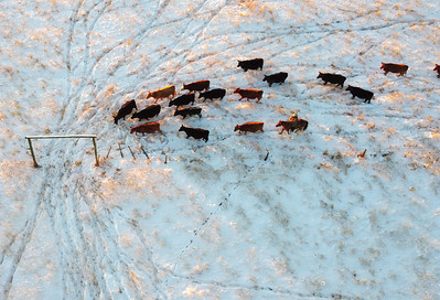 Brant, Alta - Dec. 31, 2020 - Carl Vanderploeg pushes 60 head of cattle through a gate and back into a pasture where there is hay for them. They were vaccinated for warbles and dewormed after Vanderploeg and two of his sons, Caslo and Logan, moved cattle from a pasture near Vulcan back to the Vanderploeg ranch east of Brant the day before.   (Mike Sturk photo)