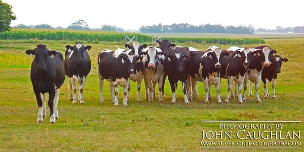 Cows1a