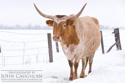 Longhorn1e