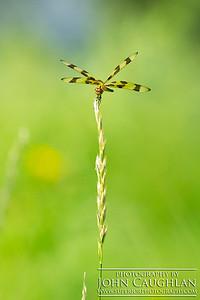 Dragonfly1b