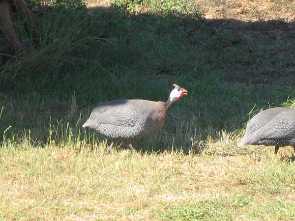 Two helmeted guinea fowl (Numida meleagris) walking through the grass (140_4033)
