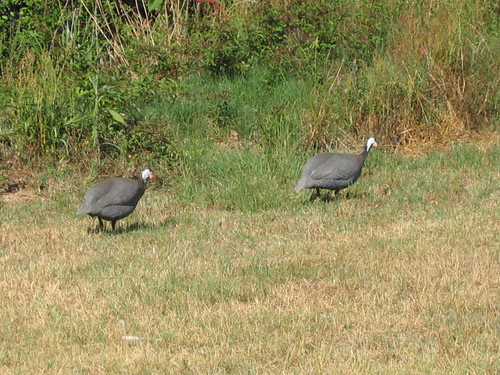 Two helmeted guinea fowl (Numida meleagris) walking through the grass (140_4034)