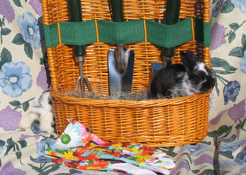 One rabbit in a basket while another sneaks behind the scene (140_4053)