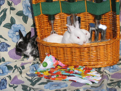Two white rabbits in a basket with a black and white rabbit peaking around from behind it (140_4062)