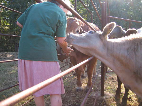 Mom giving treats to the bull at the family farm while a young cow gives a gentle lick