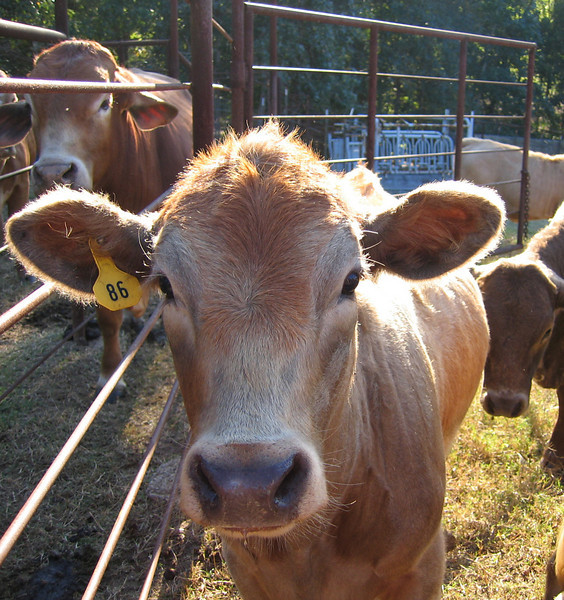 Juvenile cows at the family farm