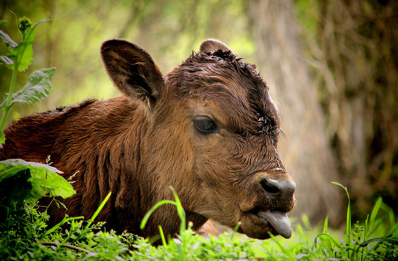 "<a href=""http://xenogere.com/calf-cuteness/"" title=""Calf cuteness"">Blog entry</a>"