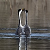 Clark's Grebes Pair Courtship Behavior