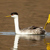 Western Grebe with One Leg Extended Straight Up