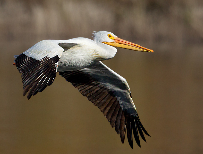 White Pelican in Flight