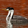 Western Grebes on Colorful Water