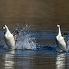 Western Grebes Rushing at Camera