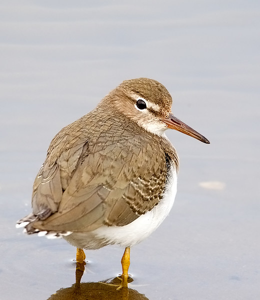 Spotted Sandpiper Winter Plumage