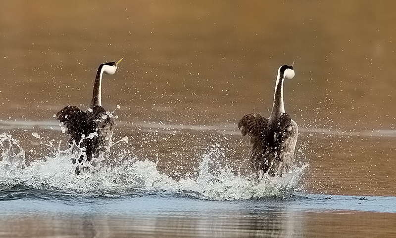 Western Grebes Rushing Away from Camera