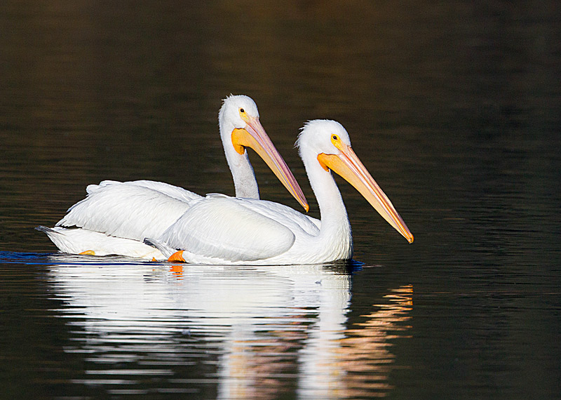 White Pelicans on Golden Pond