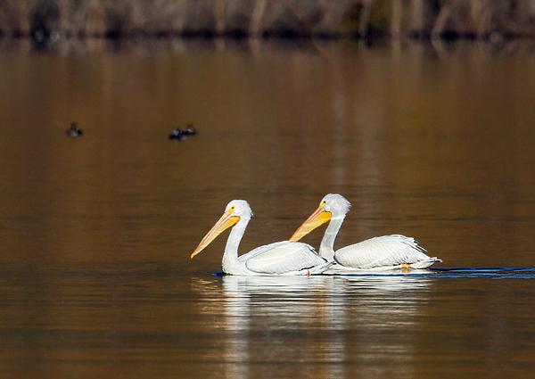 White Pelicans on Golden Pond