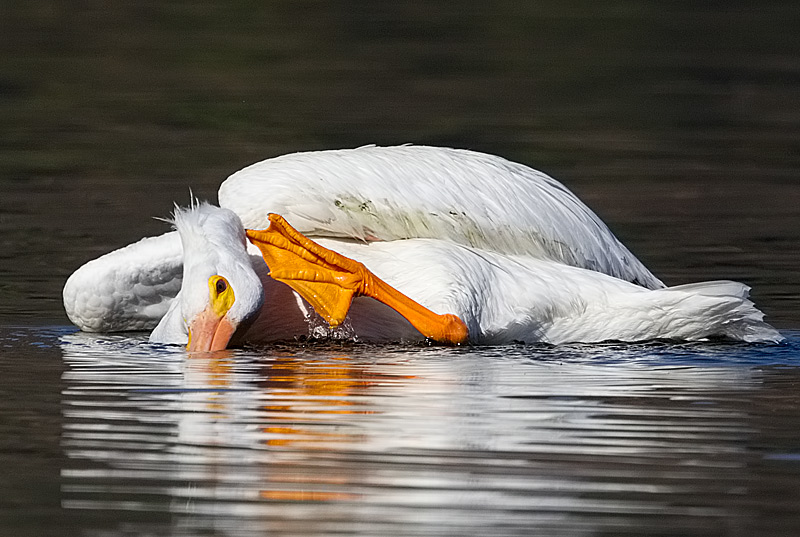 White Pelican Scratching Head
