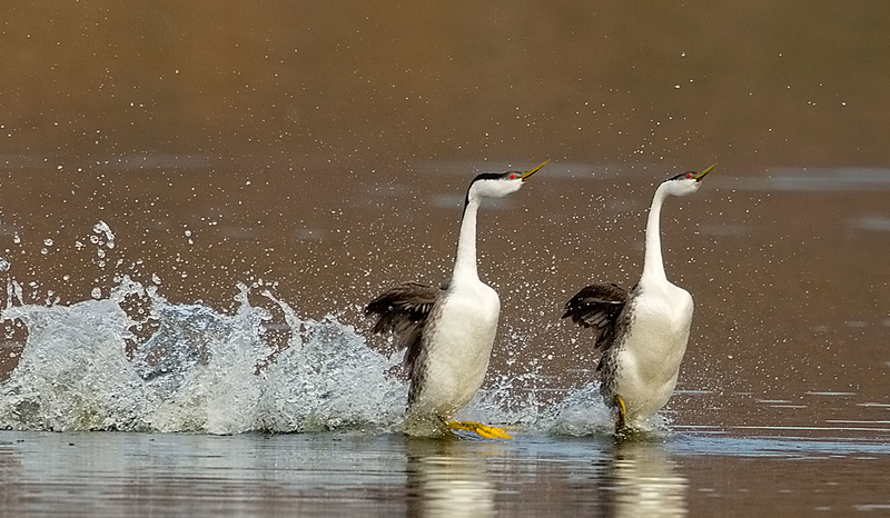 Western Grebes Rushing on Golden Pond