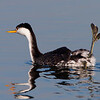Western Grebe Showing its Leg