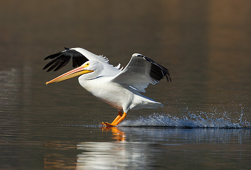 White Pelican Landing on Water