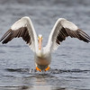 White Pelican Taking Off into Camera