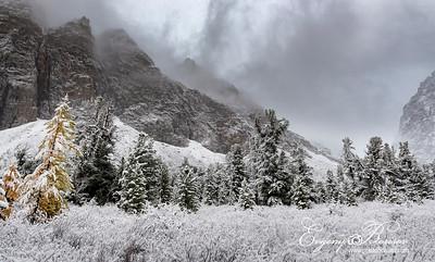 Cedar in the snow