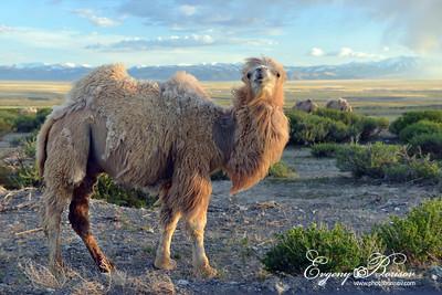 Camel Altai