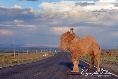 Camel on the Chuisk Road