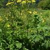 Doronicum macrophyllum