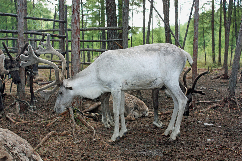 A prized white reindeer.
