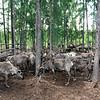 Reindeer herd.