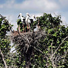 Young Oriental White Storks high up in their nest in the Muraviovka Park. <br /> <br /> A carnivorous stork with a wing span of more than 2 meters (7 feet), the Oriental White Stork is an endangered species that breeds only in the Amur-Heilong basin. his There are only about 2500 remaining in the world.