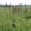 Wild Iris in the field.