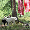 The dogs play while the clothes are hung out to dry in this forest clearing.