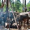 Reindeer near a tent frame & smoldering fire.
