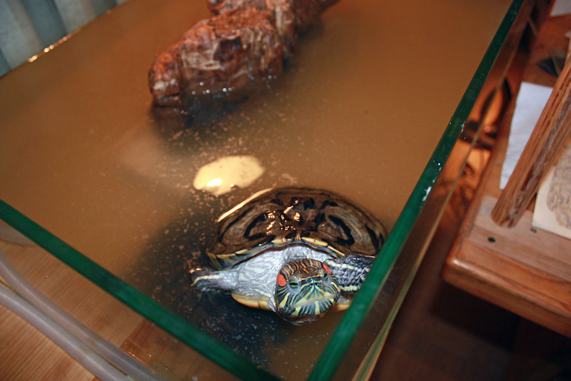 A turtle in Bolotsky's office. Черепаха.