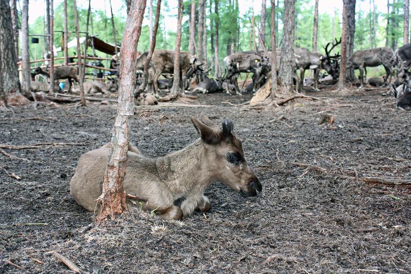 Resting baby reindeer.