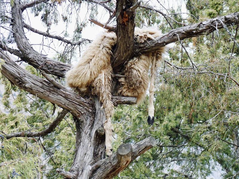 Sheepskin drying in a tree.