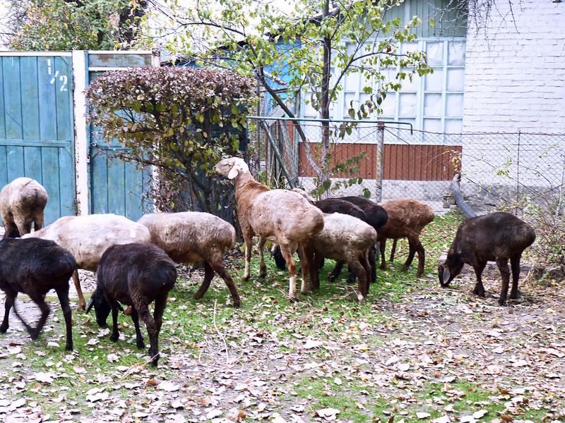 Sheep in a backyard.